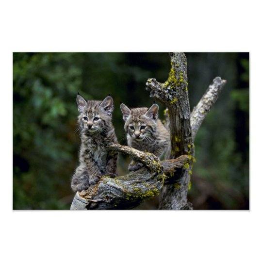 Bobcats-summer-young kittens poster