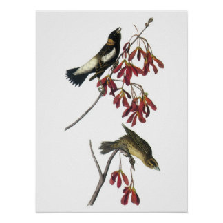Bobolink by Audubon Poster