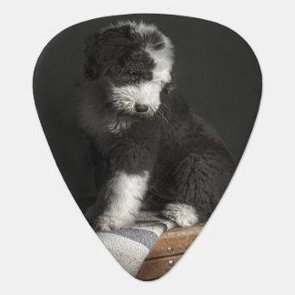 Bobtail puppy portrait in studio guitar pick