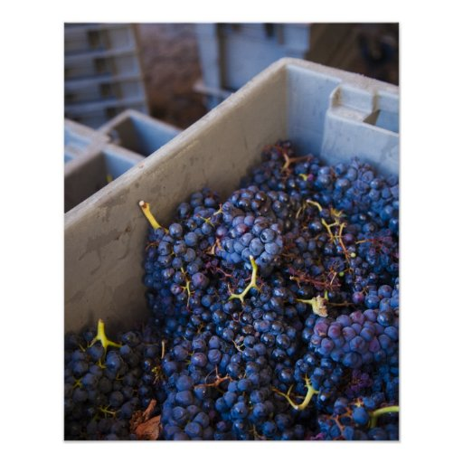 Bodega Marques de Riscal winery, grapes Posters
