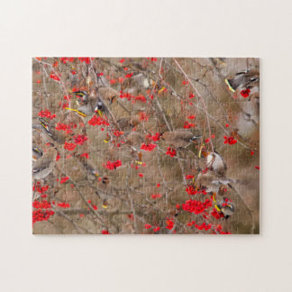 Bohemian Waxwings Feeding On Mountain Ash Jigsaw Puzzle