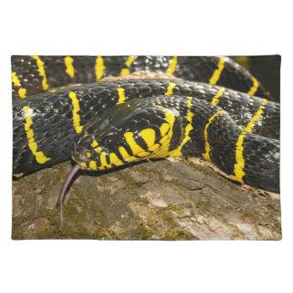 Boiga dendrophila or mangrove snake placemat