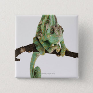 Boldly coloured chameleon with characteristic 15 cm square badge