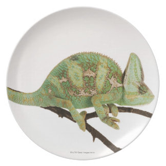 Boldly coloured chameleon with characteristic 2 plate