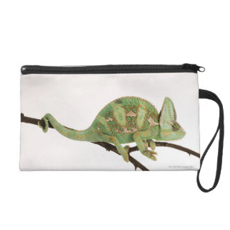 Boldly coloured chameleon with characteristic 2 wristlet