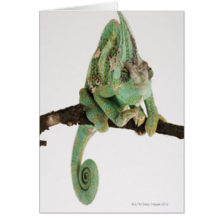 Boldly coloured chameleon with characteristic card