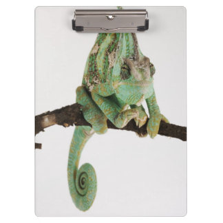 Boldly coloured chameleon with characteristic clipboard