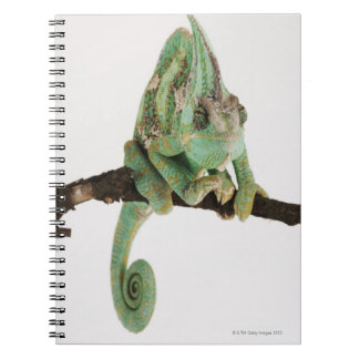 Boldly coloured chameleon with characteristic notebooks