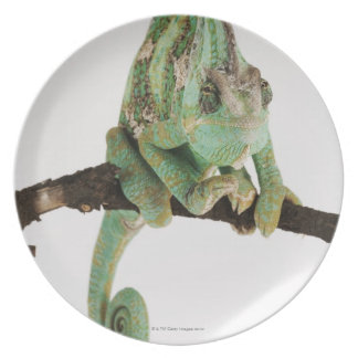 Boldly coloured chameleon with characteristic plate