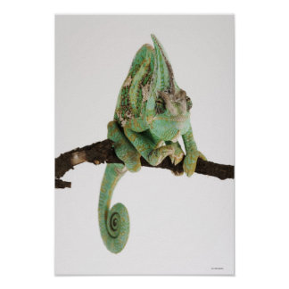 Boldly coloured chameleon with characteristic poster