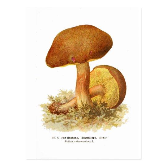 Boletus subtomentosus postcard