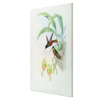 Bonaparte's Star Fronted Hummingbird (coloured lit Canvas Print