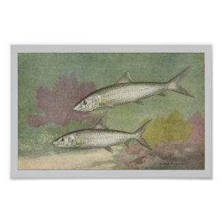 Bone-Fish Vintage Fish Print Photo