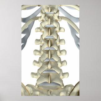 Bones of Lumbar Vertebrae 3 Posters