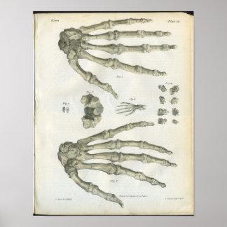 Bones of the Hand Anatomy Print