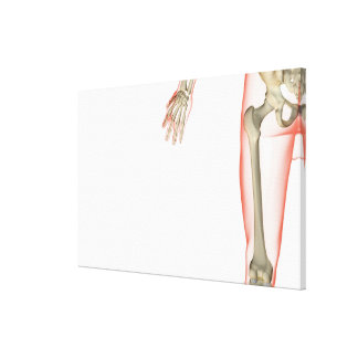 Bones of the Thigh 2 Canvas Print