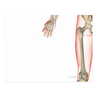 Bones of the Thigh Postcard