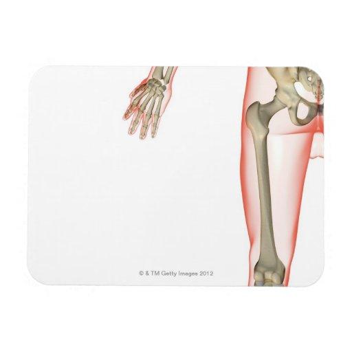 Bones of the Thigh Rectangular Magnet