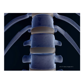 Bones of the Vertebral Column 2 Postcard