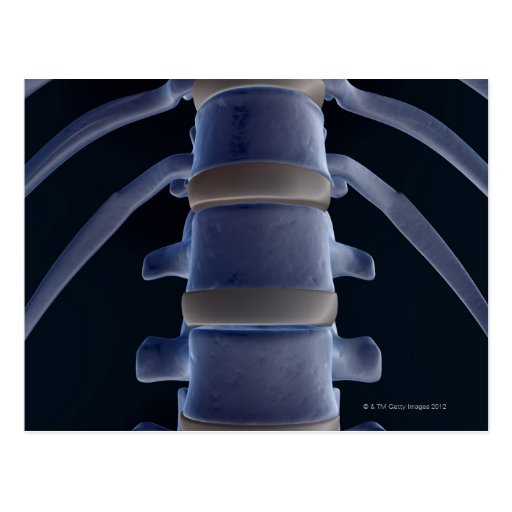 Bones of the Vertebral Column 2 Post Cards