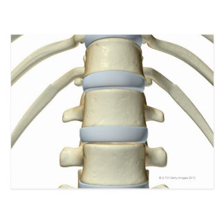 Bones of the Vertebral Column Postcard