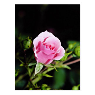 Bonica Shrub Rose Meidomanac Yellow flowers Post Card