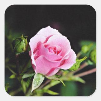 Bonica Shrub Rose Meidomanac Yellow flowers Square Stickers