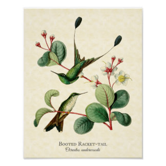 Booted Racket Tail Hummingbirds Art Print