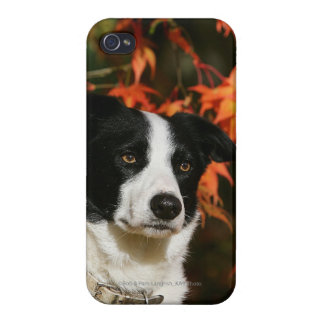 Border Collie Autumn Headshot Case For The iPhone 4