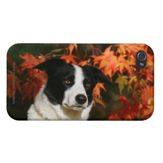 Border Collie Autumn Headshot Cases For iPhone 4