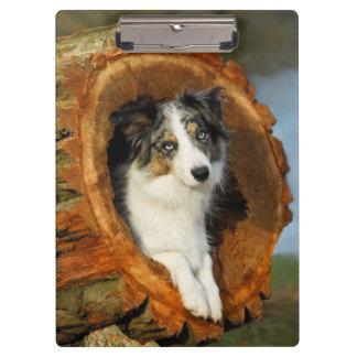 Border Collie Blue Merle Dog Portrait Photo - on Clipboard