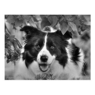 Border Collie Dog Postcard