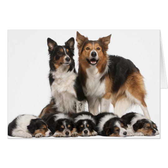 Border collie family card
