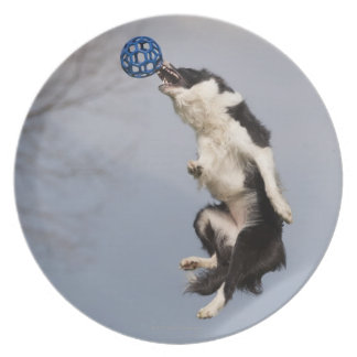 Border Collie just before catching the ball high Plate