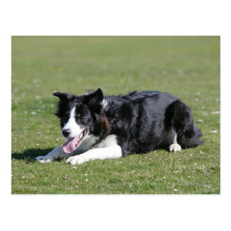Border Collie Laying Down Postcard