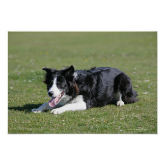 Border Collie Laying Down Poster