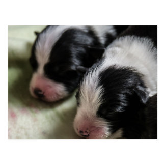 Border Collie Newborn Puppies Postcard