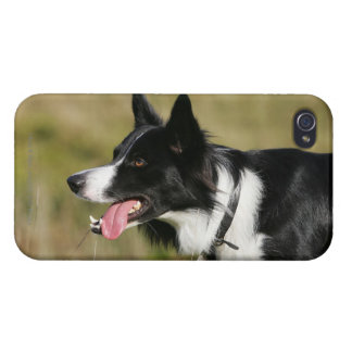 Border Collie Panting Headshot 2 iPhone 4/4S Covers