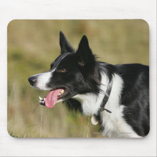 Border Collie Panting Headshot 2 Mouse Pad