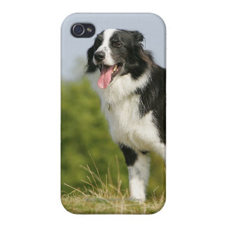 Border Collie Panting Standing iPhone 4/4S Cover