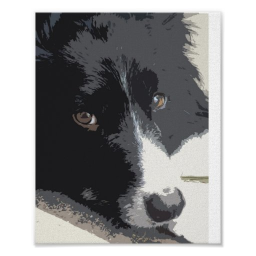 Border collie portrait poster