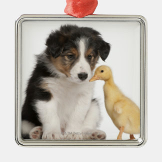 Border collie puppy (6 weeks old) playing with christmas ornament