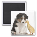 Border collie puppy (6 weeks old) playing with magnet