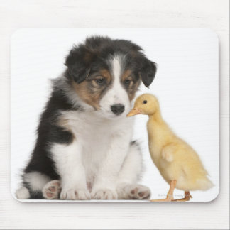 Border collie puppy (6 weeks old) with duckling mouse mat