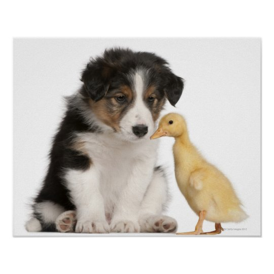 Border collie puppy (6 weeks old) with duckling poster