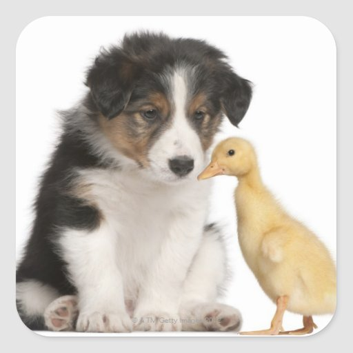 Border collie puppy (6 weeks old) with duckling square stickers