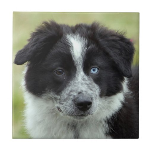 Border Collie puppy dog beautiful tile or trivet