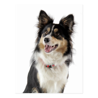 Border Collie Puppy Dog Greeting Post Card