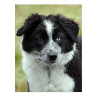 Border Collie puppy dog postcard