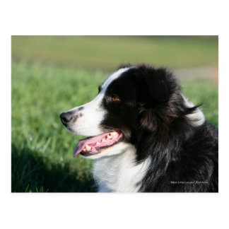 Border Collie Puppy Laying Down Postcard